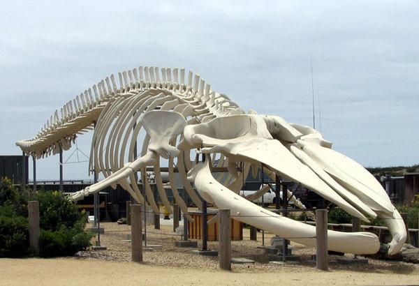 Кость с барского стола находка века, выбросили, синий кит, резьба по кости, Севастополь, длиннопост