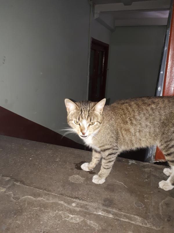 Спб, московский район, пересечение улиц краснопутиловской и кубинской Санкт-Петербург, найден кот, потеряшка, длиннопост, помощь животным, в добрые руки, кот