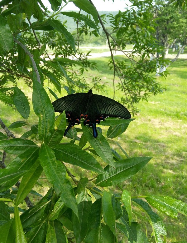 Курильская бабочка Курильские острова, Итуруп, бабочка, красота