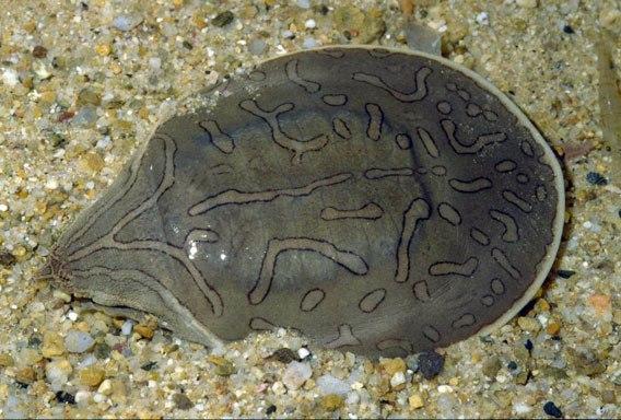 Кожистые черепахи черепаха, Рептилия, панцирь, кожа, длиннопост