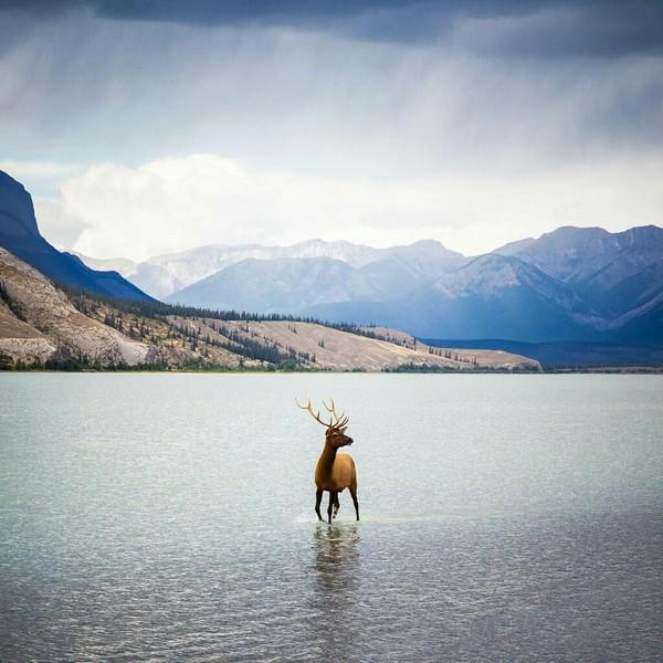Отлично пойманный фотографом момент. Национальный парк Джаспер, Канада.