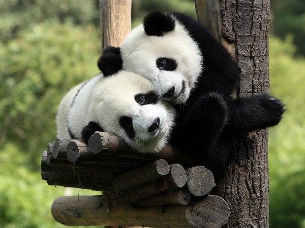 Из Петербурга запустят прямой рейс к заповеднику панд Санкт-Петербург, панда, Китай, заповедник, рейс