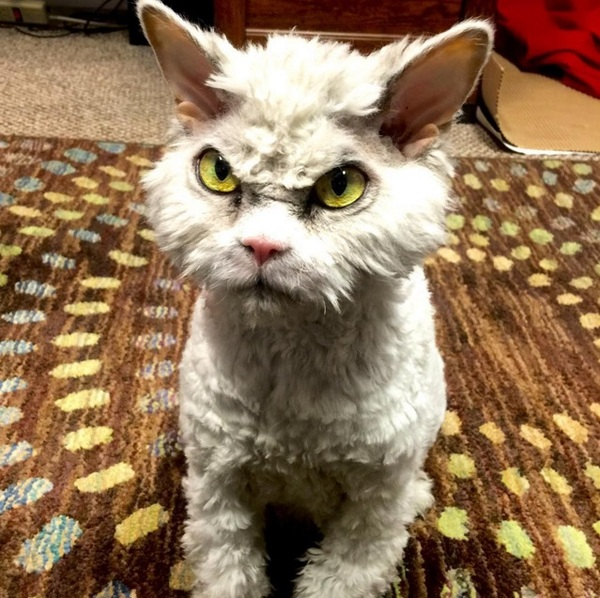 Суровый кот Альберт - 2 кот, селкирк-рекс, взгляд, длиннопост