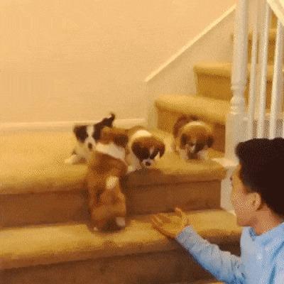 Собаки, которые не умеют пользоваться лестницей гифка, щенки, лестница, Собака, длиннопост
