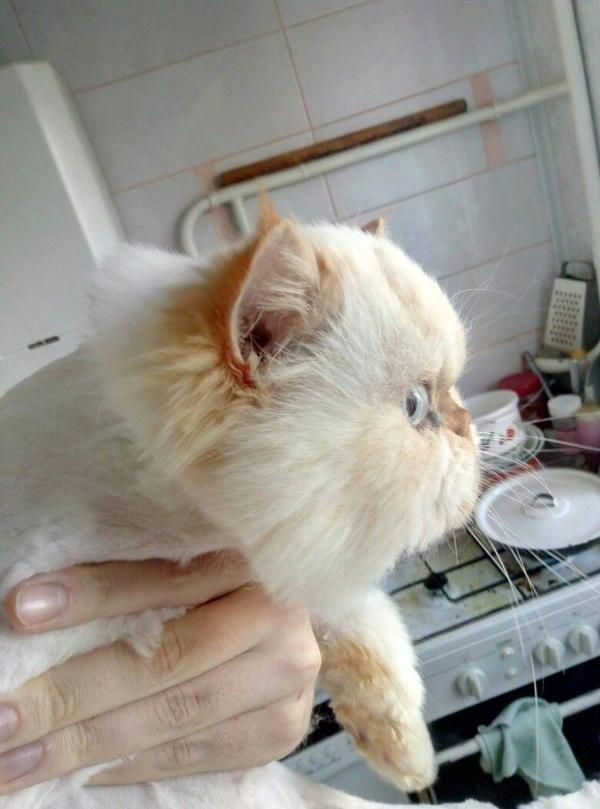Знакомьтесь - Ричи. Теперь стриженый. Кот, Груминг, Персидский кот, Фото на тапок, Домашние животные, Длиннопост