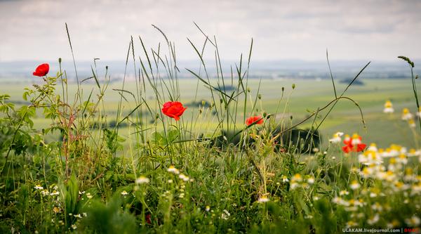 Маки на холме. Небо, цветы, пейзаж, холм, трава, Чехия, Оломоуц