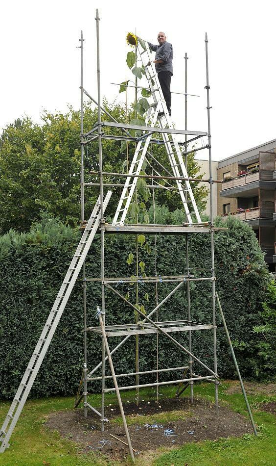 Самый большой подсолнечник в мире. Хобби немецкого садовника. Высота 8,15 метра.