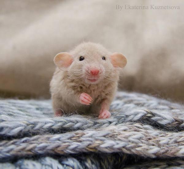 Декоративные крысы крыса, милота, фотография, длиннопост