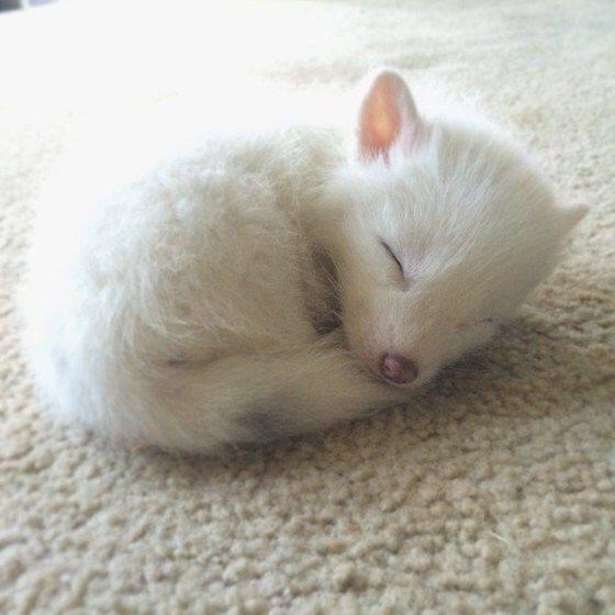 Маленький спящий лис