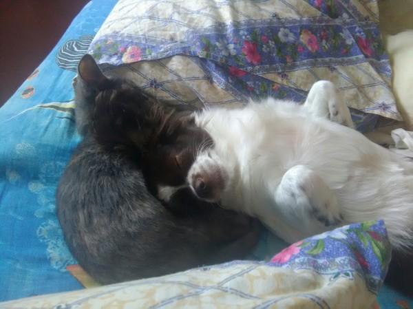 Начало дружбы. такие мимишки, достаточно редки в основном бесятся) Животные, Коты и собаки вместе, Дружба, Спят, Милота, Длиннопост, Кот, Собака