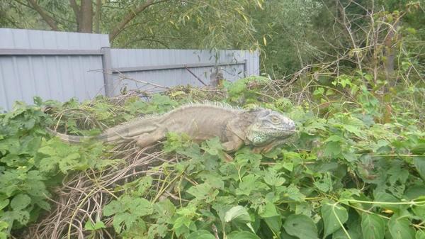 На Украине игуану перепутали с динозавром динозавры, юмор, ящерица, длиннопост