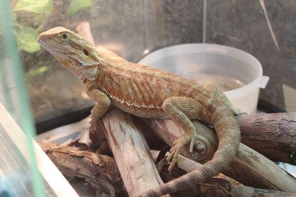 Агамка! бородатая агама, ящерица, Рептилия, животные