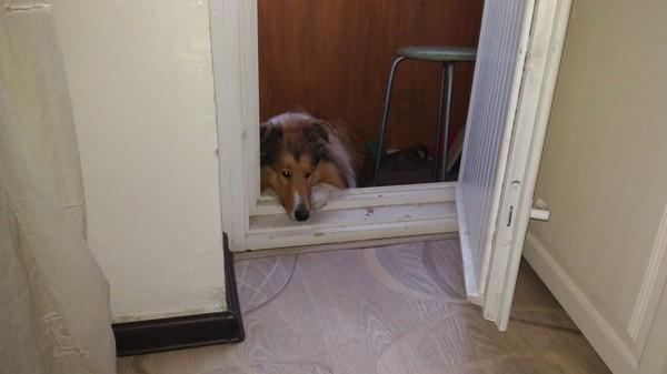 Собачьей грусти пост Собака, грусть, Колли