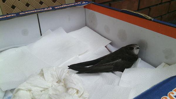 Птица любит небо или спасение Красоты Стриж, Птица и небо одно целое, Я люблю стрижей, Спасение птицы, Видео, Длиннопост