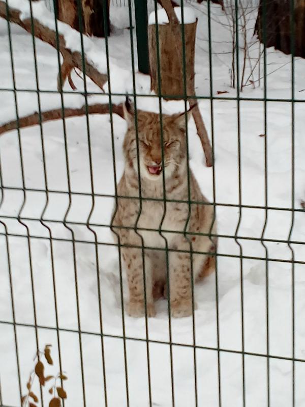 Рысь рысь, зоопарк, зима