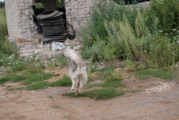 Для кого то надежда , а для кого то... Собака, Аляскинский маламут, поиск