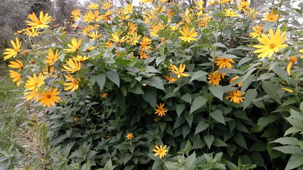 Топинамбур топинамбур, цветы