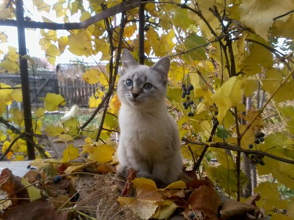 Осенняя кошка кот, осень, виноградные листья