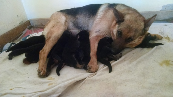 5 лет, а все такой же щенок в душе Собака, Немецкая овчарка, Юбилей, Длиннопост