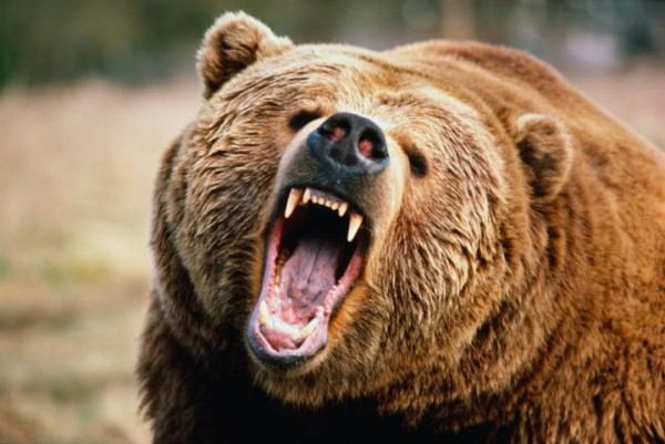 Выживший по-уральски: мужчина нокаутировал медведя медведь, борьба, повезло, фотография