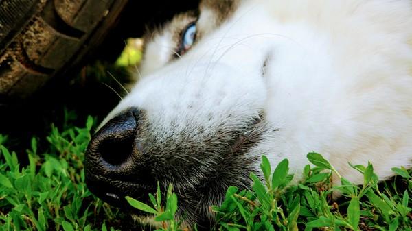 Хаски, шерстяной волчара:) Собака, хаски, суперпёс, длиннопост