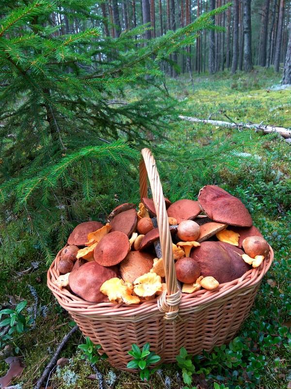 Идеальная суббота - это когда так грибы, лес, чистый лес, берегите природу, подосиновик, лисички, суббота, длиннопост
