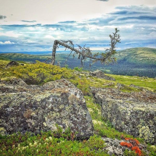 Угораздило вырасти на вершине сопки Мурманская область, Кольский полуостров, сопка, дерево, природа, пейзаж