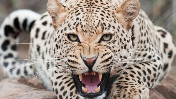 Омск VS Саратов Саратов vs Омск, Леопард, RT, контактный зоопарк, новость