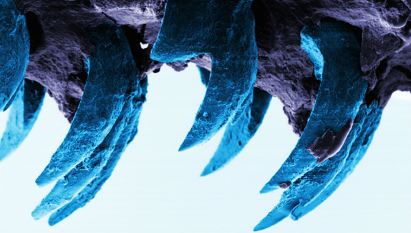 Самый прочный биологический материал обнаружили в зубах морских улиток улитка, гетит, кевлар, паутина, броня, суперпрочность, длиннопост
