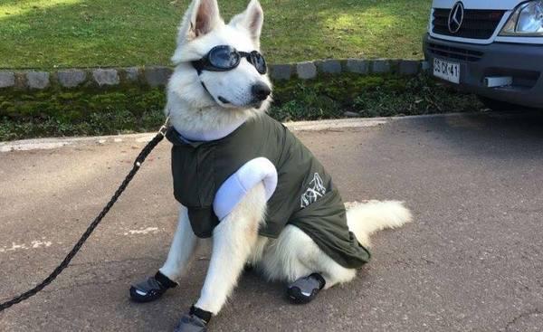 В Чили полицейские собаки носят специальные солнечные очки.