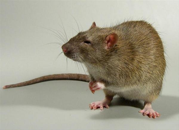 Кемеровский фрилансер кормил своего семилетнего сына подвальными крысами. треш, фрилансер, ужас, смех, бизнес по-русски, смешное
