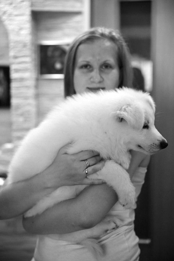 Как же быстро они растут. Белая швейцарская овчарка по имени Цезарь. фотография, БШО, собака, белая швейцарская овчарка, Цезарь, возраст, было-стало, длиннопост