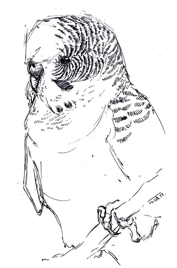 Волнистый попугайчик попугай, птицы, рисунок, моё