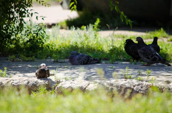 Маленький голубь Голубь, птицы, фотография, мини