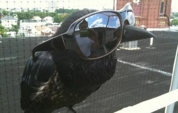 Модная ворона