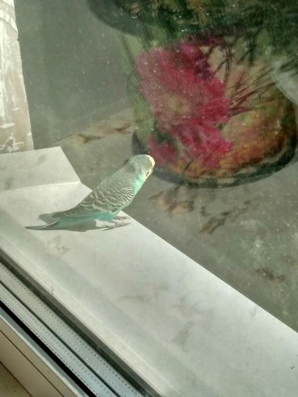 Побег попугай, Побег