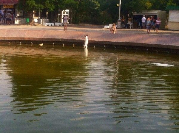 Спасение водоплавающего Джек-рассел-терьер, фонтан, ЗА ВДВ!, собака, плавание, Животные, фотография, длиннопост