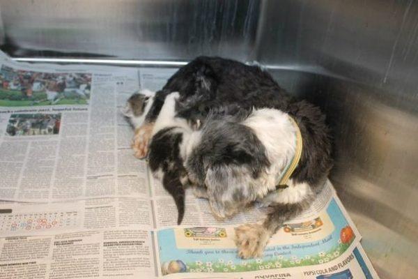 Собака рисковала жизнью, чтобы спасти котёнка. Кот, Собака, Приемыш, Длиннопост