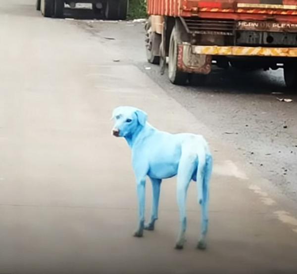 По Мумбаи бегают поголубевшие собаки Собака, индия, химия