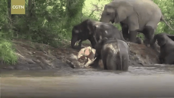 Слоненок альбинос в Африке слоны, слоненок альбинос, гифка, Африка, национальный парк, Kruger National Park