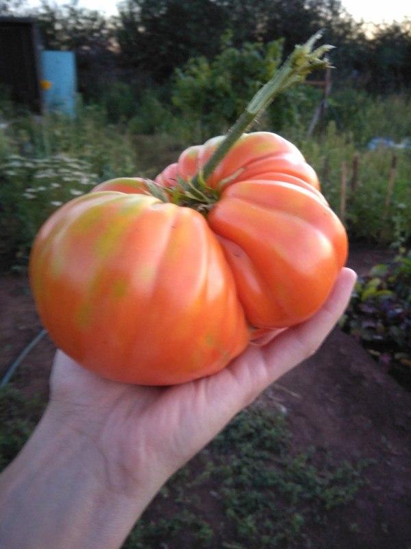 Дайте килограмм помидоров. помидор, Огород, килограмм, моё, длиннопост