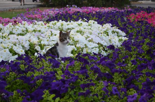 Цветочные коты. кот, петунья, цветы, Севастополь