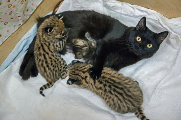 В Новосибирском зоопарке две домашние кошки стали приёмными мамами детенышам каракала, сервала и дальневосточного кота кот, сервал, каракал, дальневосточный кот, Новосибирск, зоопарк, длиннопост