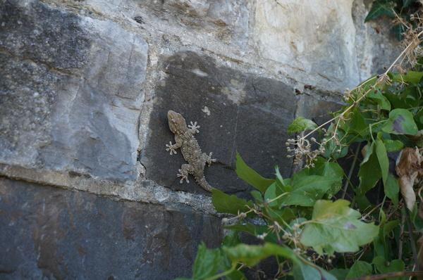 Немного Италии. ящерица, Дикая природа, длиннопост