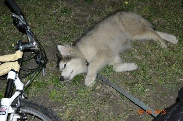 Было... стало Собака, Аляскинский маламут, было-стало, длиннопост