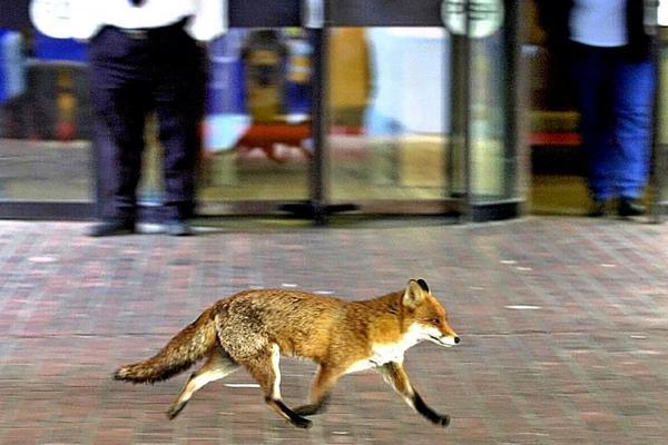 Ничего необычного, просто лондонская лиса спешит на работу! ^^