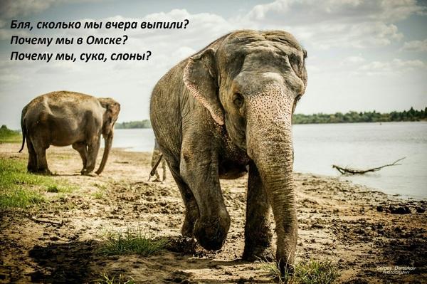 Слоники заблудились слоны, омск, картинка с текстом