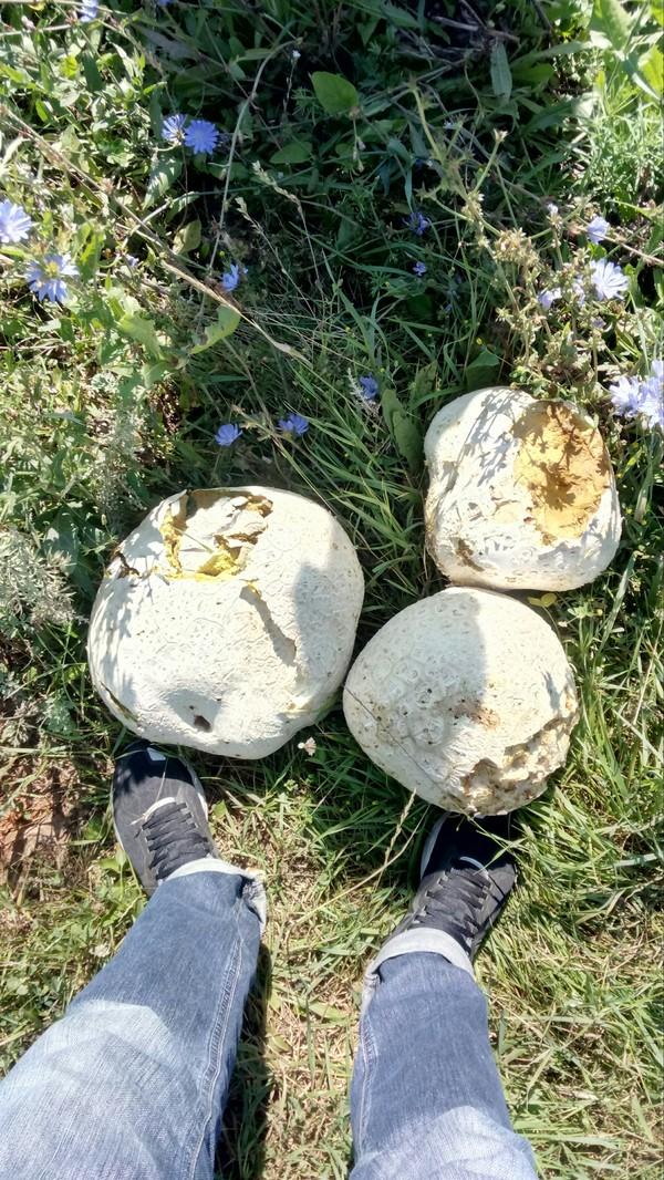 Вот такие нашли три дождевика!) грибы, находка, длиннопост