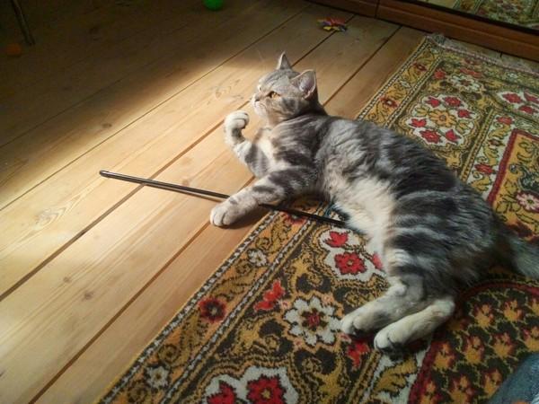 Утренние раздумья Маруси кот, британская короткошерстная, утро
