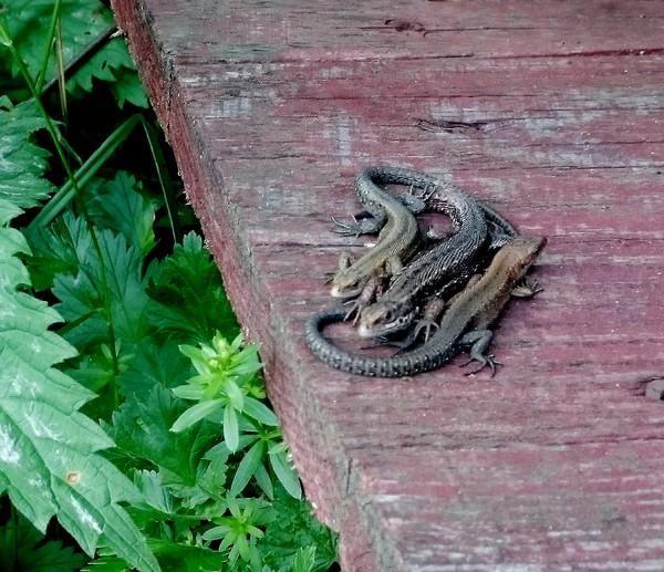 Селигерские ящерки фотография, ящерица, Природа
